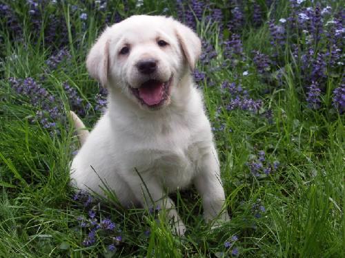 Labrador Retriever Welpen kaufen und verkaufen Labrador
